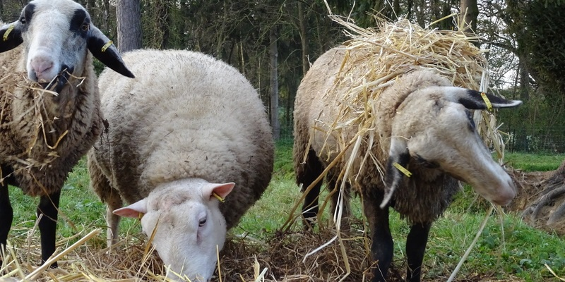 Moutons Rennes